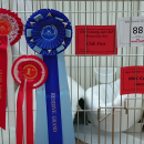 RESERVE GRAND CHAMPION, West Country Cat Club Show 2-8-2014
