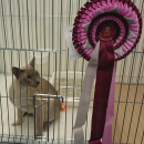 RESERVE GRAND CHAMPION, South Western Counties Cat Club Show 27-9-2014