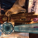Supreme Cat Show 2016 - Gained her Imperial title as well as 2 Imperial Certificates