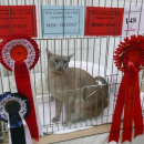 Io gains her 1st Challenge Certificate at the West Country Cat Club Show on the 12th January 2013