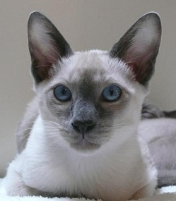 Why choose a tonkinese cat